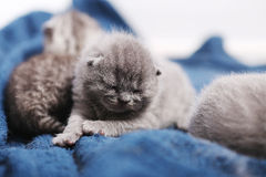 Awsome newly born kitten. Cute newly born kitten, British Shorthair on a blue towel, one day old, first day of life royalty free stock images