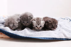 Awsome newly born kittens Stock Image