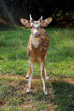 Awwww... A cute fawn Royalty Free Stock Photography