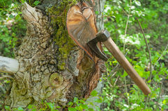 Ax stuck in tree. Ax stuck in an old tree in the forest royalty free stock image