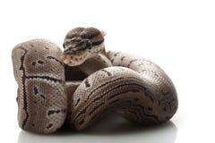 axanthic ριγωτό python σφαιρών στοκ φωτογραφίες