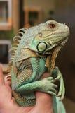 Axanthic (błękit Przekształcać się) zieleni iguana Obraz Royalty Free