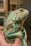 Axanthic (Blue Morph) Green Iguana. Jade is the name given this juvenile male blue morph (axanthic) Green Iguana (Iguana iguana).  The rare color variation is Royalty Free Stock Image