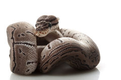 Axanthic pinstripe ball python Stock Photos