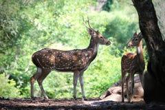 Axelhjortar eller prickiga hjortar med dess lismar i skogar av Indien Royaltyfria Foton