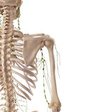 The axillary lymph nodes Stock Image