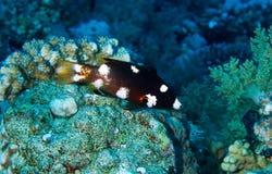 Axilspot hogfish, juvenile Stock Photos
