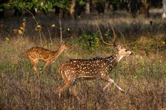 Axis. Axis or Spotted Deer (Axis axis) INDIA Kanha National Park Royalty Free Stock Images