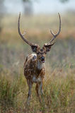 Axis axis. The chital or cheetal (Axis axis), also known as chital deer, spotted deer or axis deer is a deer which commonly inhabits wooded regions of Sri Lanka Royalty Free Stock Photos