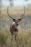 Axis Axis. The chital or cheetal (Axis axis), also known as chital deer, spotted deer or axis deer is a deer which commonly inhabits wooded regions of Sri Lanka Stock Image