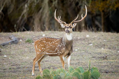Axis Buck. Mature South Texas Axis buck standing proud Royalty Free Stock Image