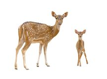 Axis Deer Royalty Free Stock Photos