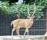 Axis Deer Stock Photography
