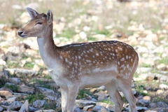 Axis Deer Royalty Free Stock Images