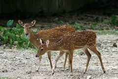 Axis Deer Stock Photo