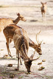 Axis Deer Stock Images