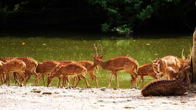 Axis Deer Royalty Free Stock Photo
