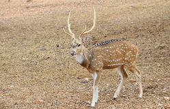 Axis Deer (Axis axis) Royalty Free Stock Image