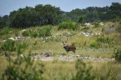 Axis Deer Royalty Free Stock Image