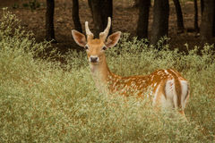 Axis Deer. An Axis Deer in the brush Royalty Free Stock Photos