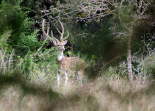 Axis Deer Chital Royalty Free Stock Images
