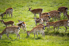 Axis deer grazing Stock Images