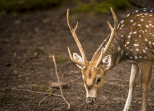 Axis deer male portrait Stock Photos