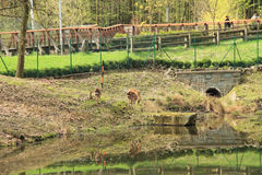 Axis deer in nice enclosure. Axis deer in the enclosure with a pond in ZOO in Ostrava, Czech Republic Stock Photography