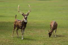Axis deer spotted buck with huge antlers and doe grazing. In green meadow royalty free stock image