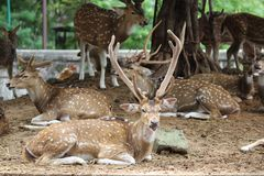 Axis deer Spotted deer Royalty Free Stock Photography