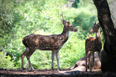 Axis deer or spotted deer with its fawn in forests of India Royalty Free Stock Photos