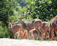 Axis deer(spotted deer) & sambar deer(Philippine deer). In a forest of India Royalty Free Stock Photo