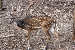 Axis deer a tiger prey royalty free stock image