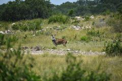Axis Deer Royalty Free Stock Photos