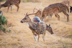 Axis Deer Stock Image