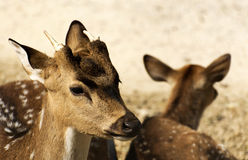 Axis deers Royalty Free Stock Photography