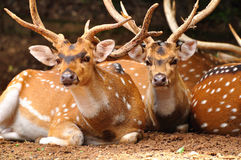 Axis deers. Stock Photography