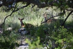 Axis Doe and Fawn Royalty Free Stock Photo