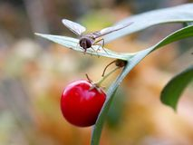 Axis and red berries. Small axis and red berries Stock Photos