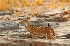 Axis axis, spotted deer or axis deer, nature habitat. Bellow majestic powerful adult animal in stone rock water pond. Deer hidden Stock Photo