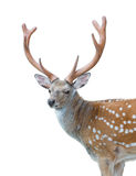 Axis or Spotted Deer Royalty Free Stock Images