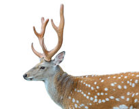 Axis or Spotted Deer. On white background stock images