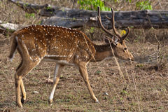 Axis Stag. Axis (chital) stag in Bandipur National Park, India Stock Photo