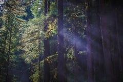 Axlar av ljus mellan träd i Sol Duc Rainforest Royaltyfri Bild