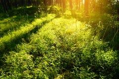 Axlar av ljus till och med Scots eller skotsk whisky sörjer stammar för Pinussylvestristrädet i barrträds- vintergrön skog Royaltyfri Bild