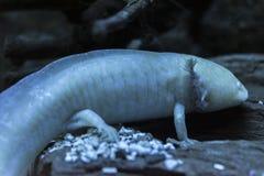 axolotl stockfotografie