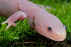 Axolotl. The Axolotl normally stays in the larvae stadium its entire live. Rarely the transform to adults as seen on this photo Stock Photo
