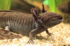 axolotl Стоковое Изображение