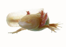 Axolotl Royalty Free Stock Photography