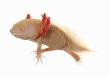 Axolotl Stock Images
